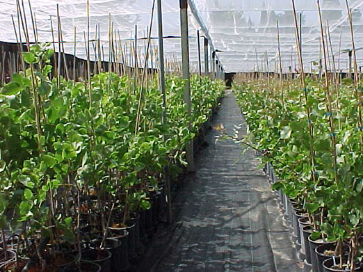 Gu a y manual sobre el cultivo de pistacho casa sant roc - Viveros murcia ...