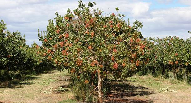 Arbol de pistacho hydraulic actuators for Cuanto miden los arboles